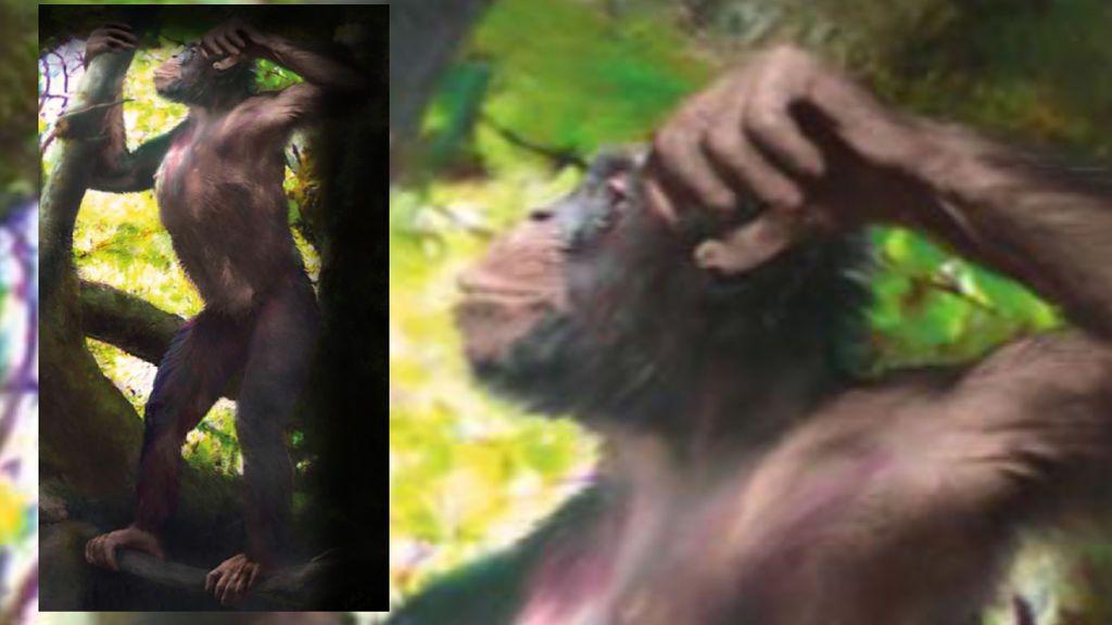 Hallazgo arqueológico: los primates empezaron a caminar erguidos en los árboles, no en el suelo