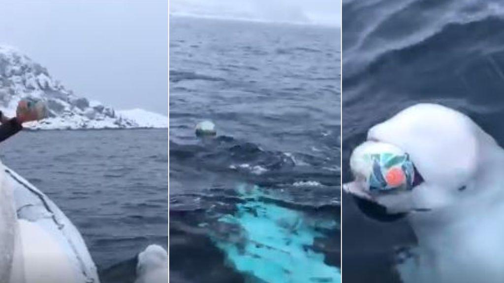 Una ballena beluga celebra el Mundial de Rugby de Sudáfrica en pleno océano practicando con un marinero