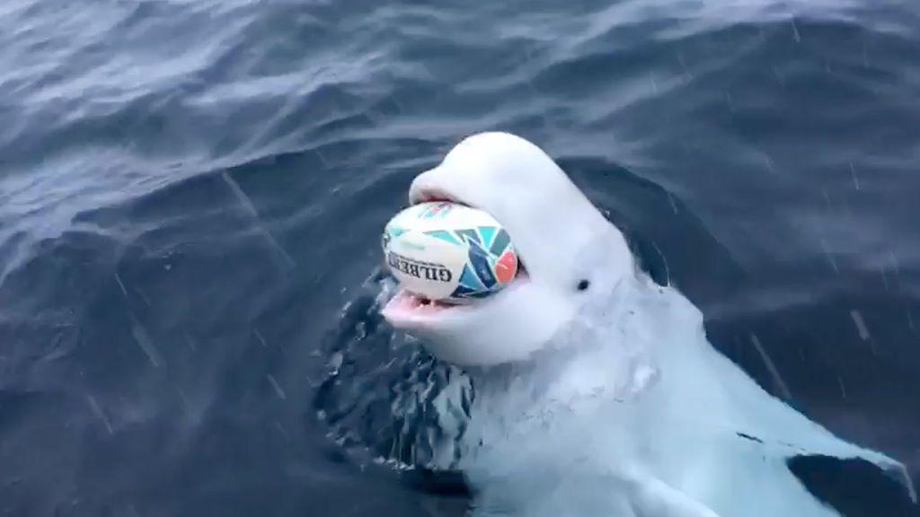 Una beluga juega al rugby con un marinero en mitad del océano