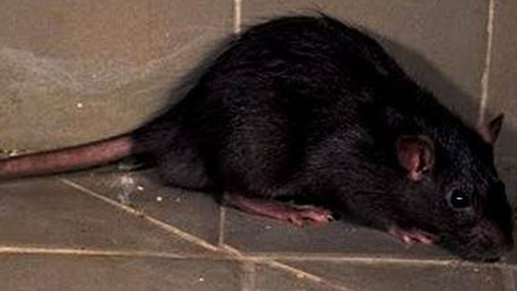Alertan de la llegada de 'ratas negras' a Madrid