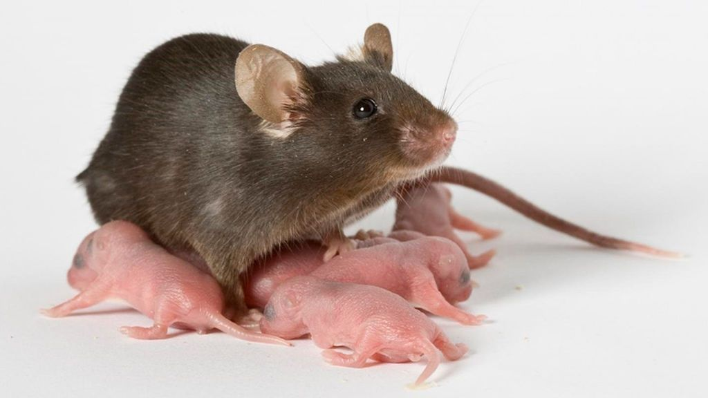 Guía para combatir la rata negra: ante todo, tranquilidad