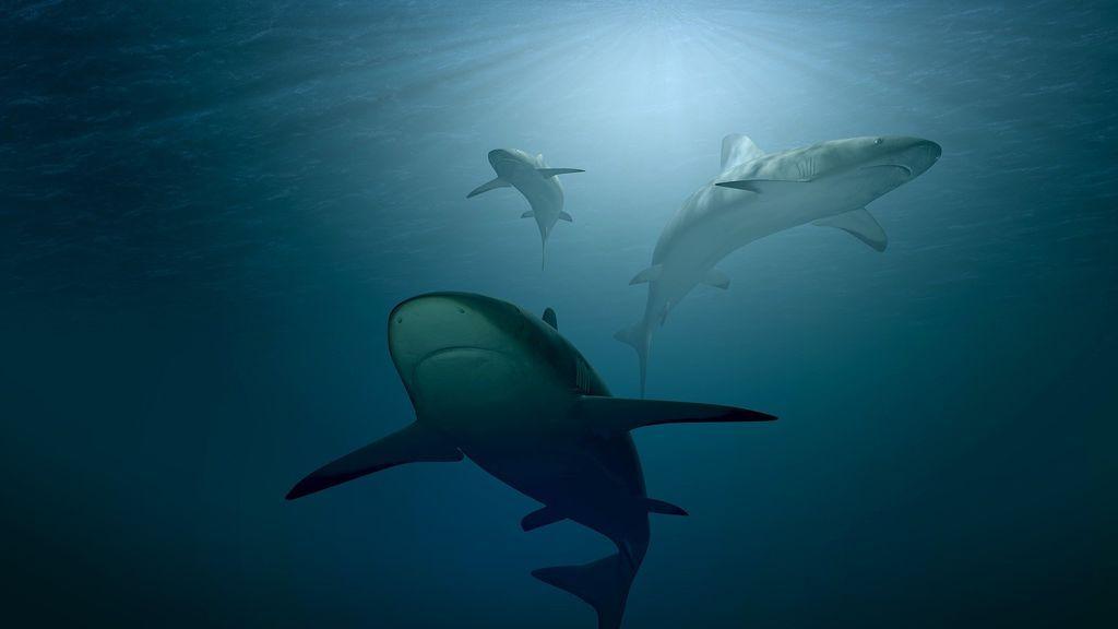 Un grupo de orcas se enfrenta al depredador más temido del océano