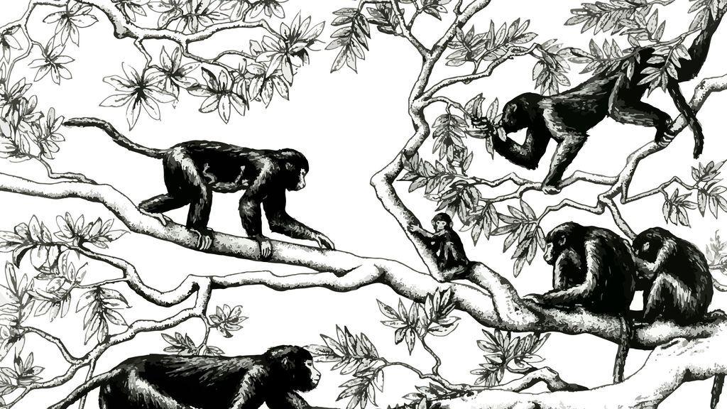 La evolución de los humanos ha sido opuesta a la de los simios