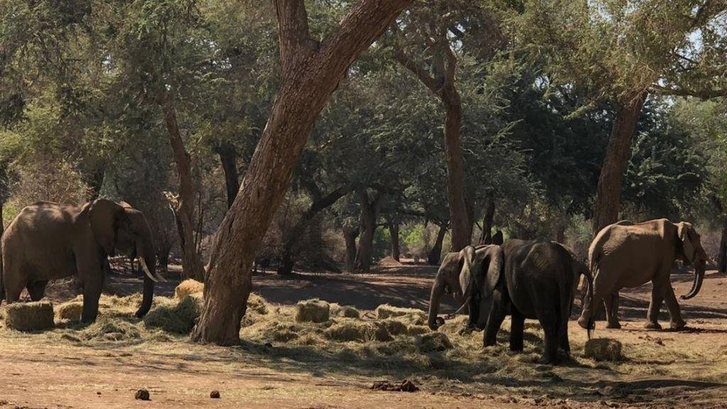 Zimbabue eleva a 115 los elefantes muertos desde septiembre por la sequía en su principal reserva