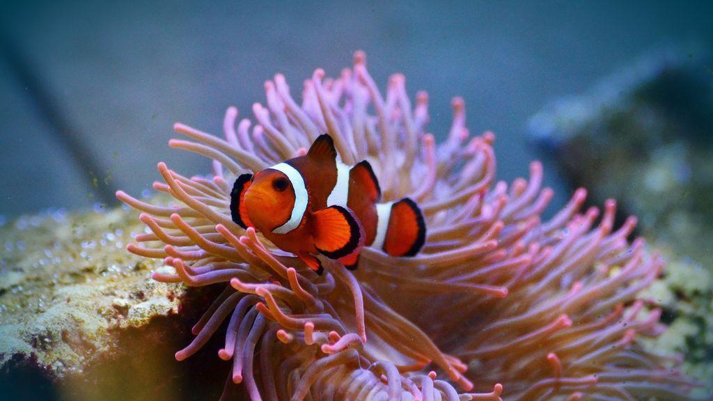 Los peces payaso de 'Buscando a Nemo' utilizan la luz ultravioleta para relacionarse