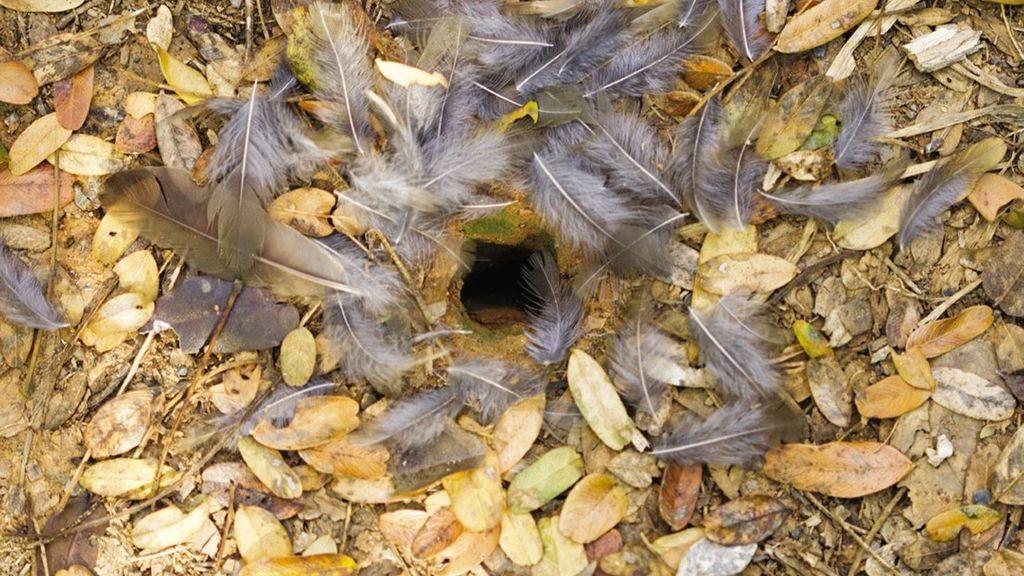 Trampa mortal con plumas: el invento de las hormigas carnívoras brasileñas