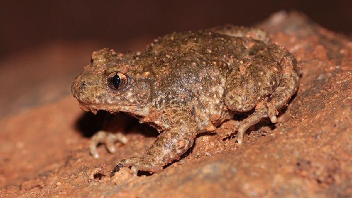 Un sapo y un tritón, dos nuevas especies descubiertas en la Península Ibérica con problemas de conservación