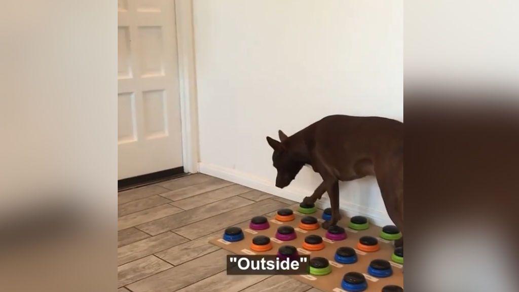 Stella, la perra de 18 meses capaz de 'hablar' gracias a un curioso dispositivo