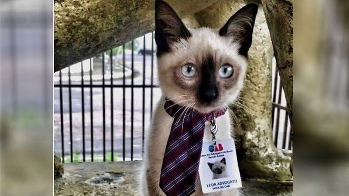 León, 'el abogato': el Colegio de Abogados de Brasil contrata a un gato callejero que se refugiaba en sus oficinas