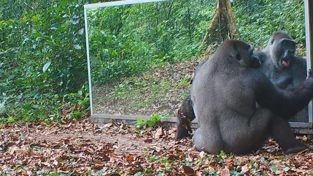 Un espejo en la jungla: la reacción de un chimpancé al verse reflejado