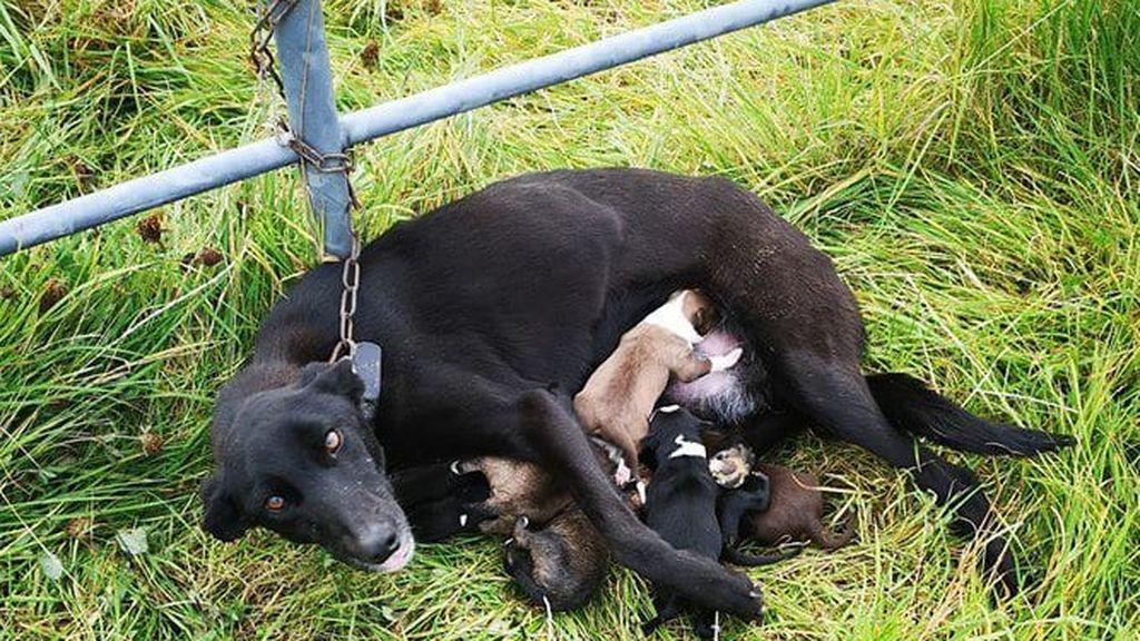 Abandono animal: encuentran a un perro encadenado a una valla en medio del campo junto con sus 6 cachorros