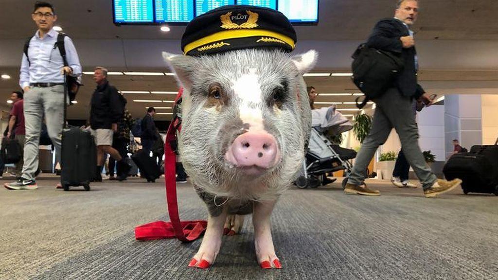 LiLou, el cerdo que te ayuda a perder el miedo a volar: está entrenado para animar a los pasajeros del aeropuerto