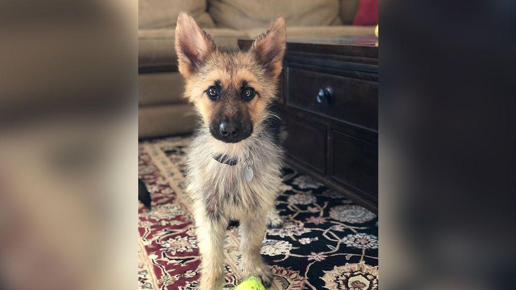 Ranger, el perro que vive perpetuamente atrapado en la apariencia de un cachorro