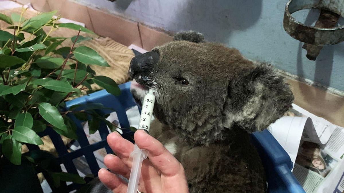Muere Lewis, el koala que conmovió al mundo con su rescate de los incendios de Australia