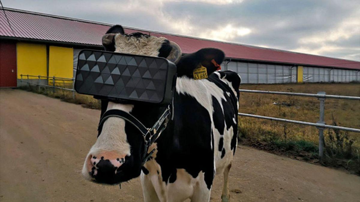 Las vacas rusas prueban gafas de realidad virtual para reducir los niveles de ansiedad