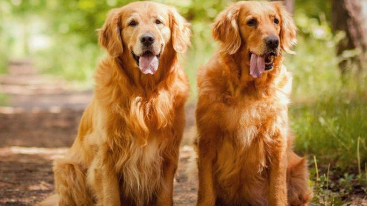 35.000 euros por cuidar a Milo y Oscar, 2 golden retrievers: el trabajo ideal para los amantes de los animales