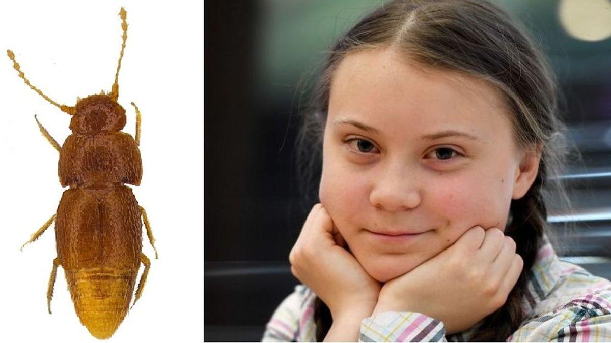 Dan nombre a una nueva especie de escarabajo en honor a Greta Thunberg: lasgretas de Nelloptodes