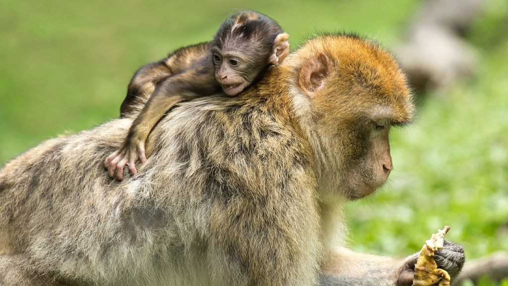 Se contagia con un virus raro al hacer experimentos con monos