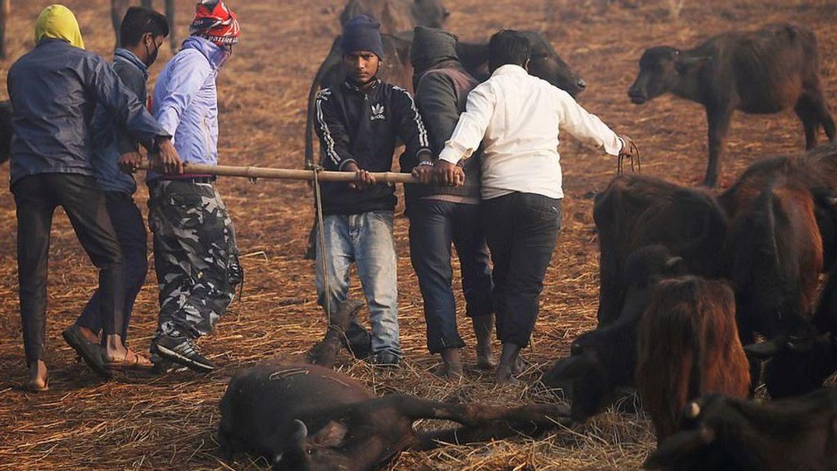 Se ha celebrado en Nepal la mayor matanza animal del mundo
