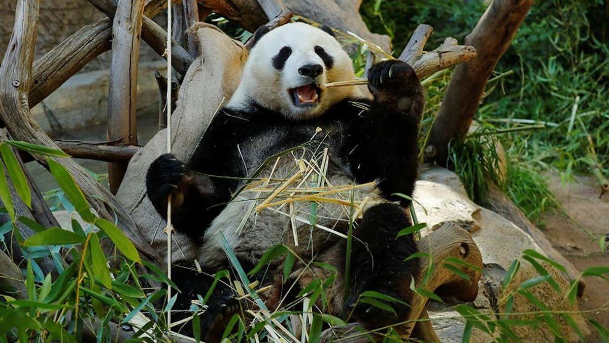El último oso panda de Europa vivió en Teruel