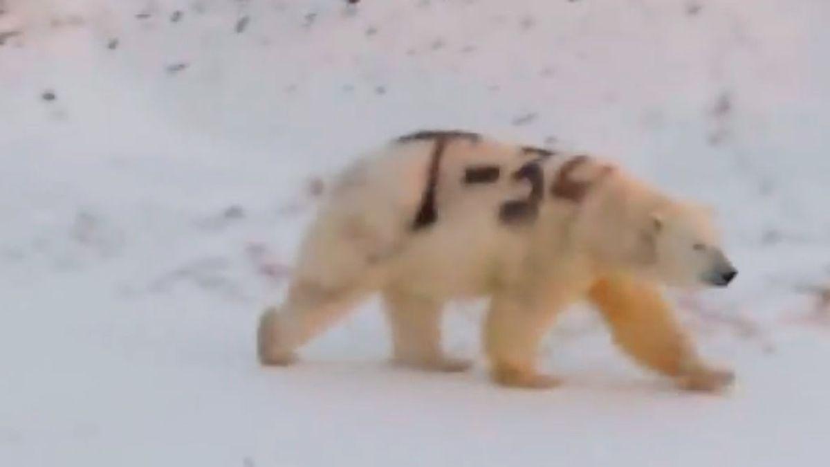 Una pintada con espray amenaza la vida de un oso polar en el Ártico ruso