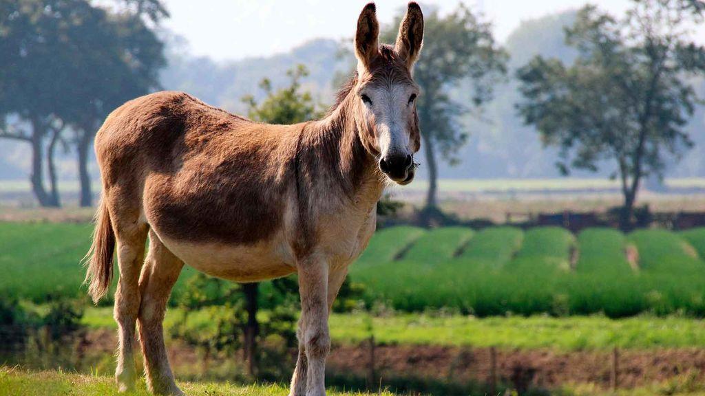 Imagen de un burro en el campo