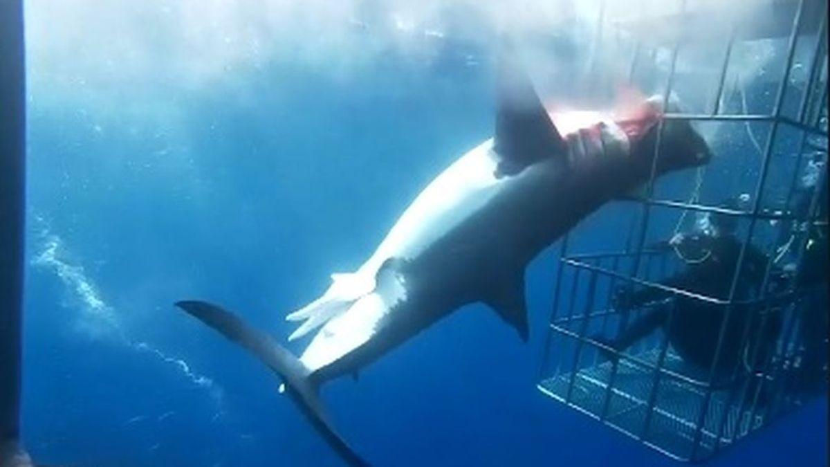 Muere un tiburón blanco tras quedarse atrapado en una jaula de observación para turistas