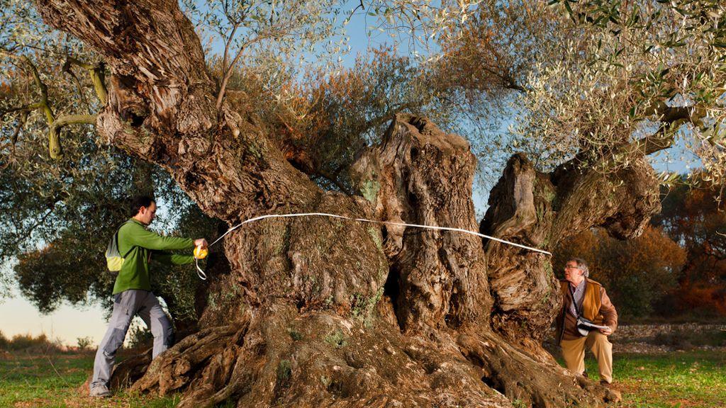 """""""Sinfo"""", el mejor olivo del Mediterráneo"""