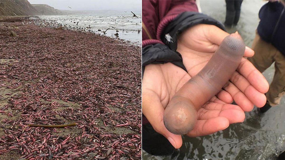 Una playa de California amanece infestada de 'peces pene'