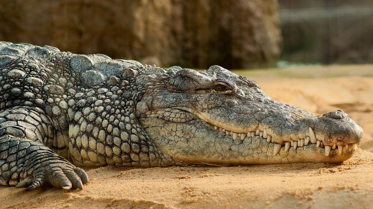 Muere de sobredosis antes de que un cocodrilo le engulla
