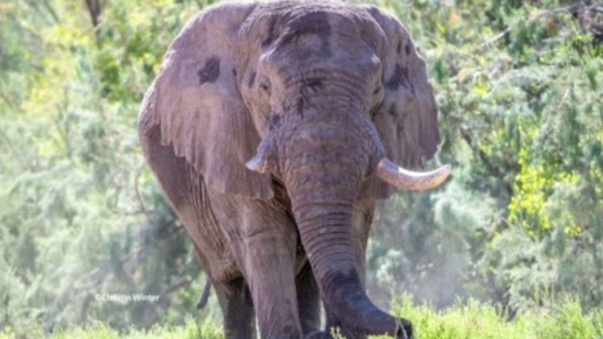 Dos cazadores matan a un elefante utilizado para investigación en Botsuana