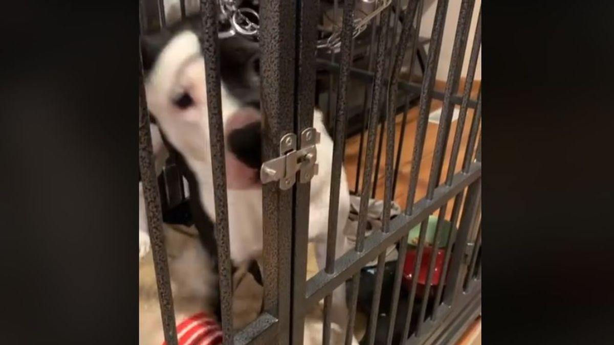 La habilidad de este pitbull para escapar de su jaula se ha vuelto viral