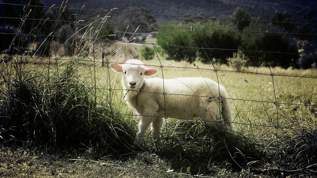Denuncian el ataque mortal de dos perros contra más de una docena de ovejas en una finca de Palma