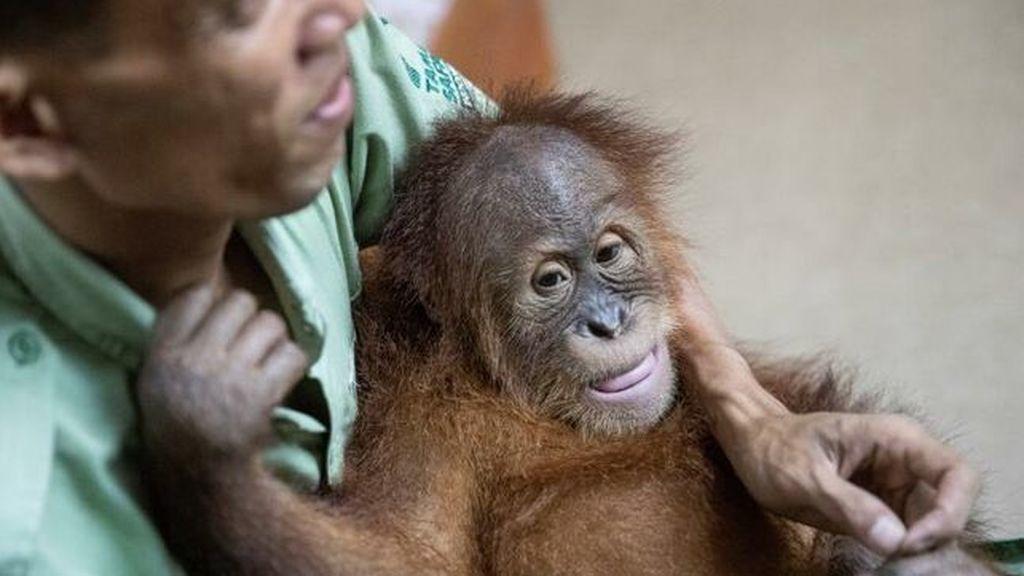 Un final feliz para Bonbón, el orangután que fue encontrado en una maleta