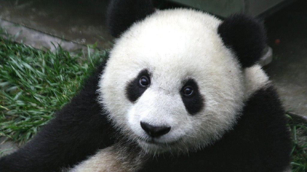 Descubren el motivo por el que los pandas nacen tan pequeños