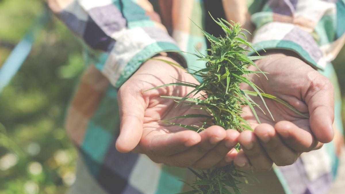 Cannabis medicinal, la súplica de cientos de miles de pacientes contra el dolor