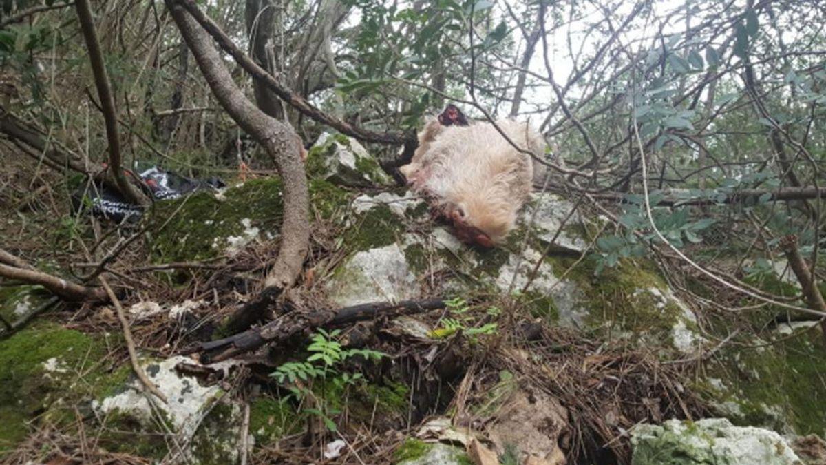 Ritual satánico en un bosque de Palma de Mallorca:  Una oveja y gallinas despedazadas colgando de árboles
