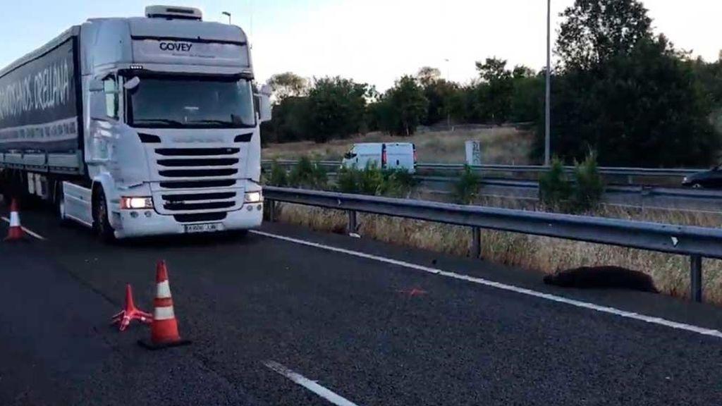 Aumenta un 47% el número de accidentes de tráfico provocados por jabalíes