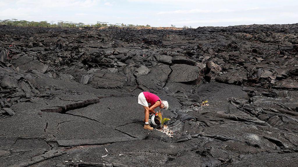 Diane Cohen, de 64 años, que se vio obligada a abandonar su hogar cuando el volcán Kilauea entró en erupción y lo cubrió con lava el verano pasado, planta un cocotero en su propiedad en Kapoho (Hawaii)