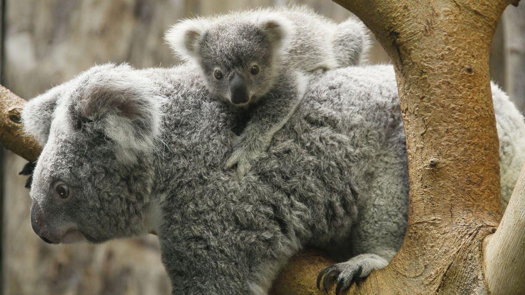 Adoptar un koala: cómo donar para saber que el dinero llega a su destino