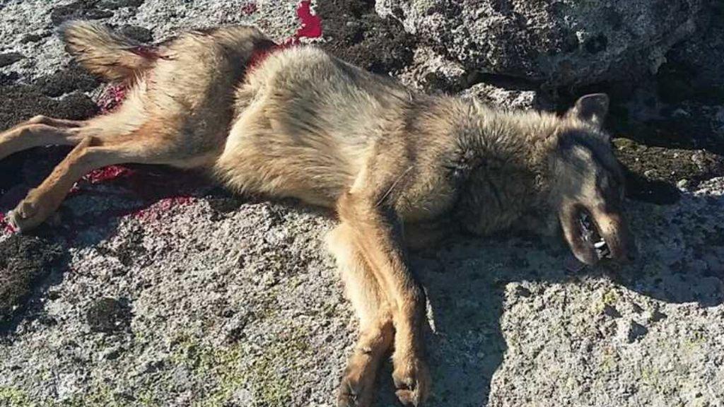 Comienza el primer juicio por la caza ilegal de un lobo en una montería de Ávila