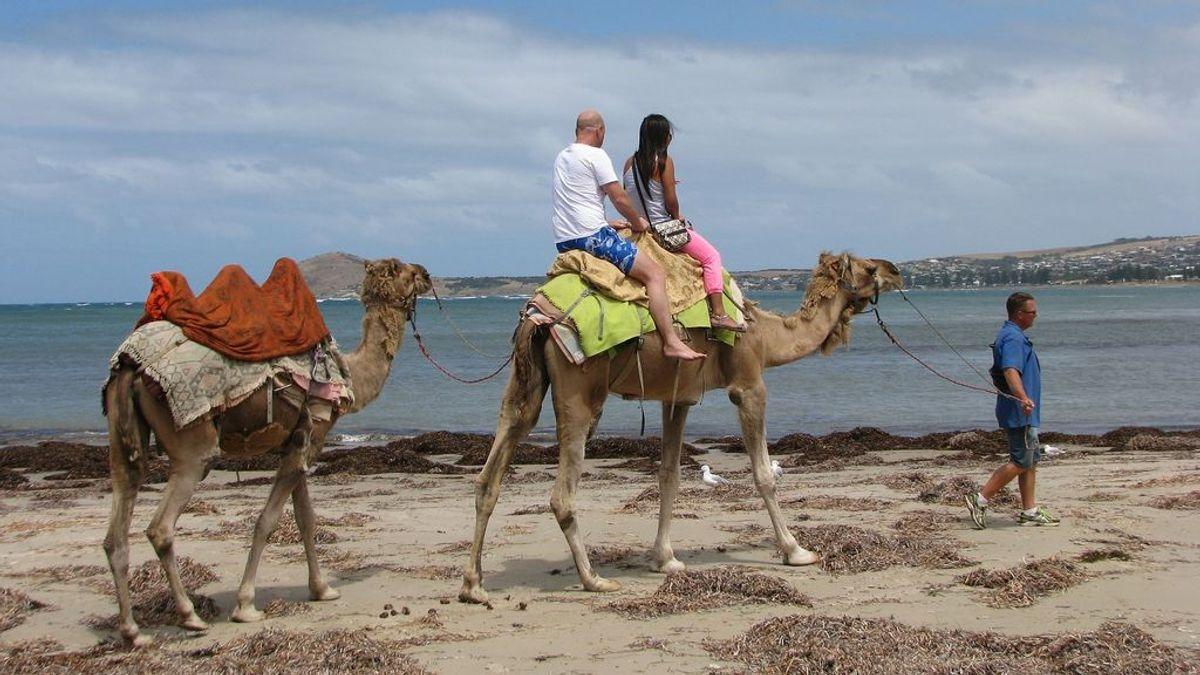 """Australia sacrificará a miles de camellos salvajes debido a la """"sequía"""" que sufre el país"""