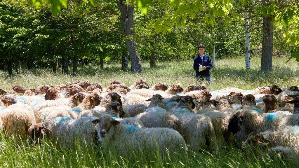 Menos soja y más tortas de colza o girasol: la dieta que reduce un 13 por ciento las emisiones de metano de las vacas y ovejas