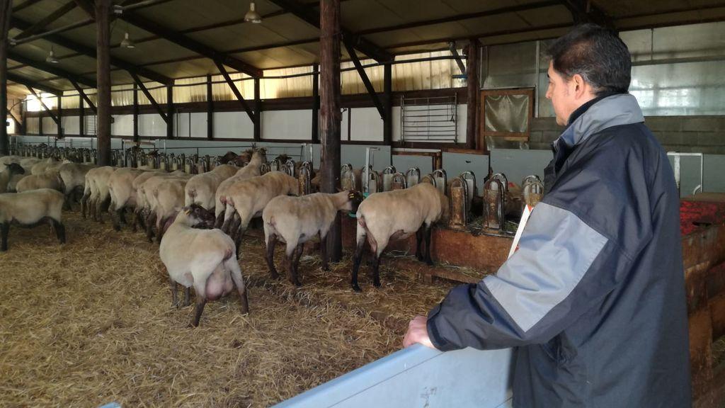 metano en ovejas y vacas