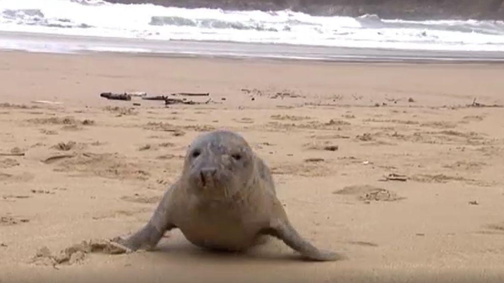 Dos focas se desorientan y aparecen en una playa de San Sebastián