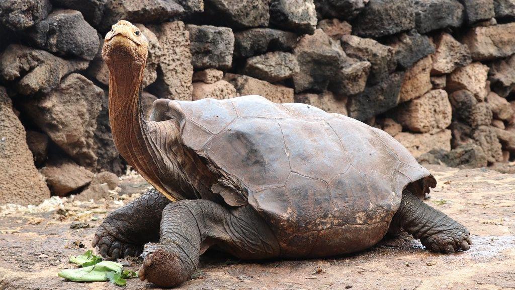 Diego, la tortuga gigante que ha salvado a su especie gracias a su apetito sexual
