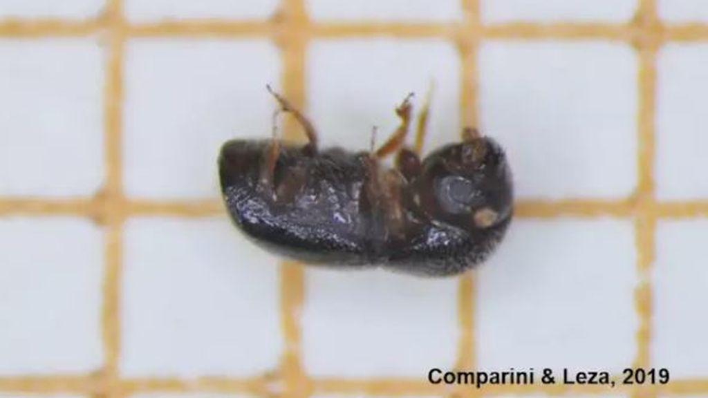Detectan una invasión de una especie escarabajo invasora en España