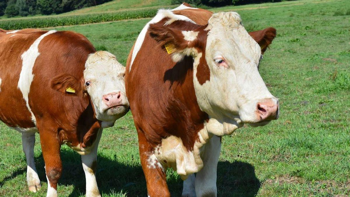 Descubren que las vacas hablan entre ellas de cómo se sienten