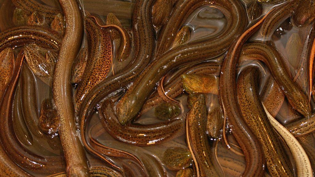 """Un hombre de 52 años, al borde de la muerte tras comerse dos anguilas vivas para """"curarse del estreñimiento"""""""