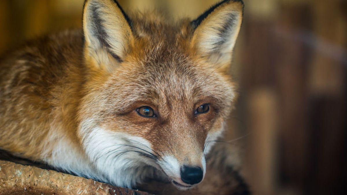 Los animalistas se organizan para boicotear una cacería de zorros en Lugo